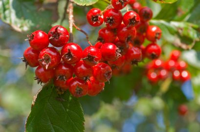 hawthorn-berry